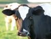 Fertilização in vitro aumenta produtividade e qualidade do rebanho bovino