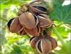 Inovações no cultivo do pinhão-manso