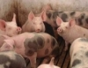 Criadores comemoram aumento da produção de suínos
