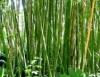 Produção de bambu para complementar renda de agricultores