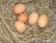 Incubação de ovos: conheça os métodos adequados para cada tipo de criação