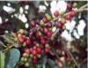 Café orgânico, mais saúde para você, mais conservação para o solo