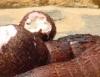 Toneladas a mais proporcionam aumento da produção de mandioca