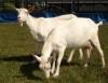 Feira reúne produtores de caprinos e ovinos