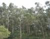 Eucalipto se torna boa fonte de renda para produtores mineiros