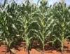 Clima favorece lavouras de milho em Goiás