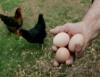 Frangos orgânicos conquistam o paladar do consumidor e garantem lucro ao produtor