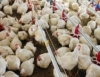 Exportações de aves no Paraná crescem 20,8% em 2011