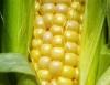 Milho mais doce é testado em MG