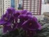 Como produzir violetas - crescimento simétrico