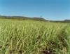 Melhoramento genético é arma contra ferrugem da cana-de-açúcar