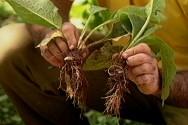 Plantas medicinais e aromáticas - extrativismo