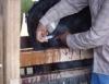 Aftosa: vacinação de bovinos e búfalos da região do rio Amazonas