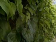 Planta do semiárido poderia curar asma e depressão