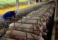 Aprenda Fácil Editora: Defensores dos animais vencem mais uma batalha contra a grande MacDonalds