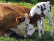 Aprenda Fácil Editora: Animais em condições estressantes produzem carne de má qualidade