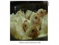 Saúde do frango de corte