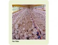 Cuidados com frangos de corte no alto verão