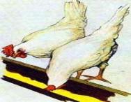 Por que hormônios não são recomendados na alimentação de frango de corte