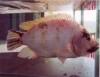 Couro de peixe tilápia vira artesanato lucrativo