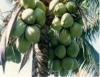 Cascas de coco são transformadas em adubo orgânico e deixam de ser problema ambiental