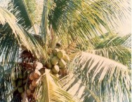 A importância do coqueiro anão verde