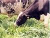 Alimentação de vacas leiteiras: é melhor utilizar os concentrados ou volumosos?