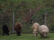 Carne de ovinos pode ser usada na alimentação escolar