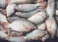 Produção de pescado cresceu 39% nos últimos 3 anos no PR