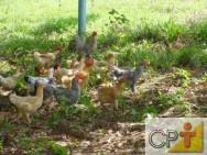 Criação de frango e galinha caipira: curiosidade