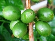 Café verde ajuda a perder peso
