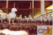 Produção de frangos de corte: curiosidade