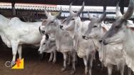 Guzerá leiteiro tem características físicas que proporcionam maior produção de leite