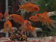 A oferta de várias espécies de peixes ornamentais é inferior à demanda.