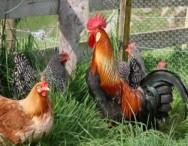 Como montar uma criação de galinhas caipiras