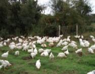 Frango orgânico é opção para produtor familiar