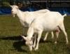 Cabras leiteiras, cada vez mais presentes na agropecuária brasileira