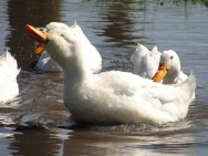 """Os marrecos são """"irmãos gêmeos"""" dos patos"""
