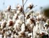 Rotação de cultura é uma das principais armas contra doenças do algodoeiro