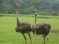 Cosmético feito com óleo de avestruz