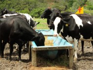 Faça seu investimento na pecuária leiteira render