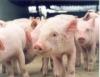 Exportação de carne suína já apresenta bom desempenho em 2010