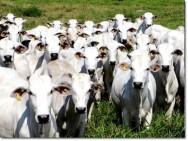 Aprenda Fácil Editora: Exportações de gado em pé crescem