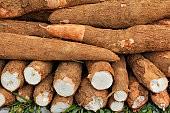 Pesquisa estuda o uso de mandioca açucarada para a produção de etanol
