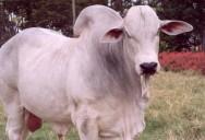 Pecuária sustentável é destaque na ExpoZebu