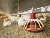 Cama de frango é incentivada como adubo orgânico