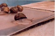 Criação de escargots é um investimento lucrativo