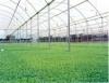 Plasticultura no plantio de tomate reduz o uso da água e do agrotóxico