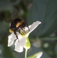 Apicultura: abelhas operárias