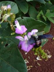 Abelhas nativas sem ferrão: características da abelha uruçu